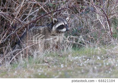 Raccoon close up 68821104