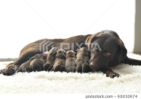 拉布拉多犬母乳喂養的父母和孩子 68830674