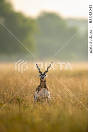 Big horned wild male blackbuck or antilope cervicapra or Indian antelope in early morning golden hour light at grass field landscape of blackbuck or velavadar national park gujrat india 68842043