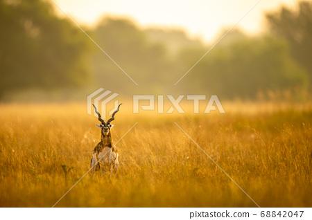 Big horned wild male blackbuck or antilope cervicapra or Indian antelope in early morning golden hour light at grass field landscape of blackbuck or velavadar national park gujrat india 68842047