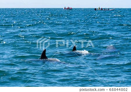 Dolphin 68844802
