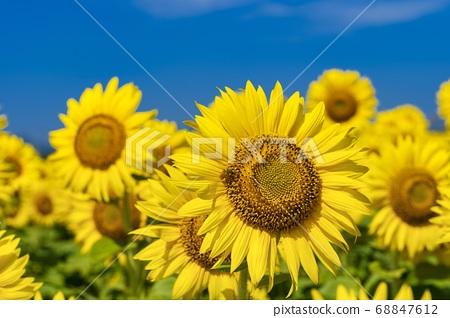 Sunflower field in Yamamoto-cho (Yamamoto sunflower festival) and bees Yamamoto-cho, Miyagi Prefecture 68847612