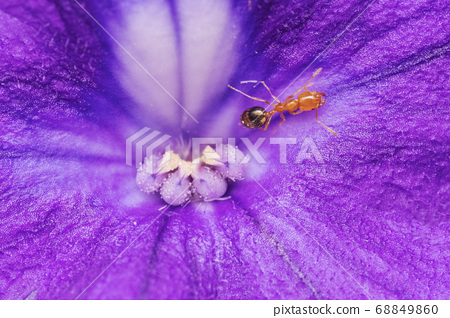 Close-Up of ant on purple flower. Marco ant 68849860