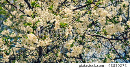 Blooming Cherry. Sunny spring day. Spring flowers. 68850278
