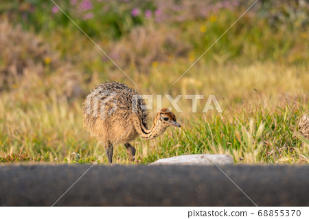 Ostrich baby walk for living on field at seaside 68855370