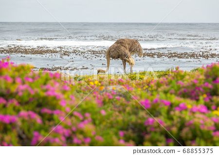 Ostrich walk for living on field at seaside 68855375