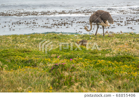 Ostrich walk for living on field at seaside 68855406