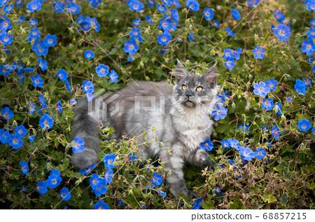 maine coon kitten in between flowers 68857215