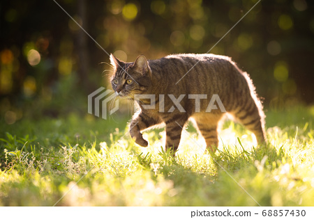 tabby shorthair cat walking in sunlight 68857430