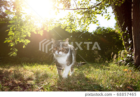 cat outdoors in natural sunlight 68857465