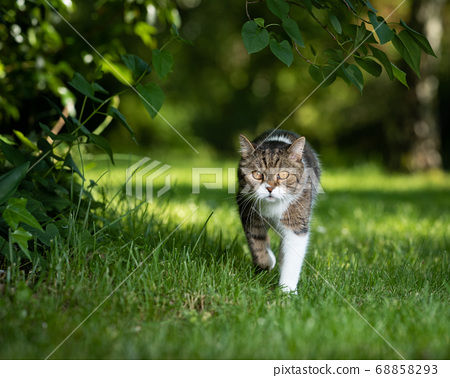 cat walking in green nature 68858293