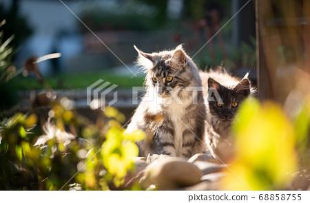 maine coon kittens in sunny garden 68858755