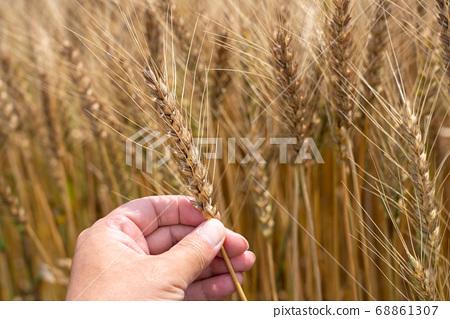 收穫時的麥田男人的手握著麥穗(6月)小麥 68861307
