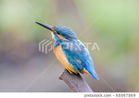 Common kingfisher on tree stump 68867869