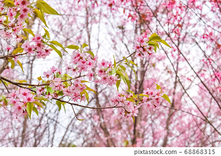 Cherry blossoms in Thailand. 68868315