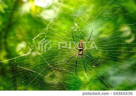 巨大的人面蜘蛛在結網 68868836