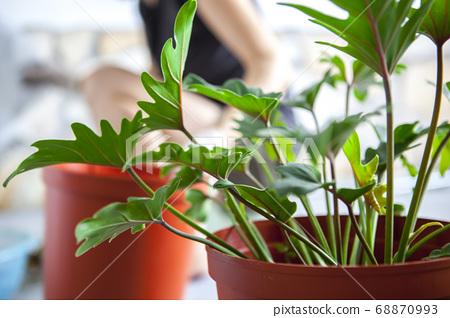 種植觀葉植物 , 多肉植物, 植物観葉植物、多肉植物、Plant foliage plants, 68870993