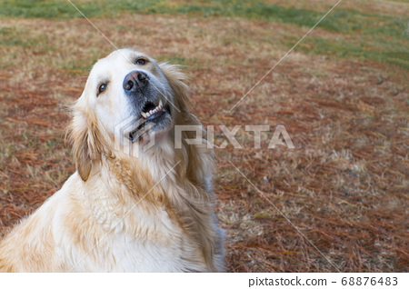 A cute golden retriever dog is looking up with a smile in the forest against the background of fallen conifer needles. The concept of training guide dogs to help people with disabilities 68876483