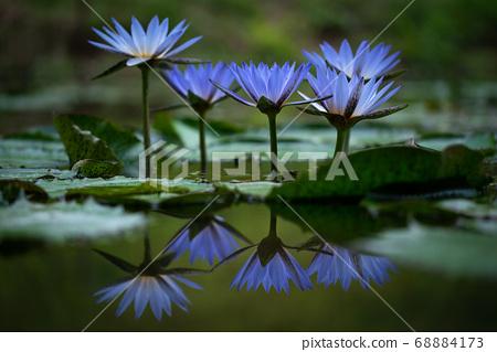 아름다운 푸른 수련 68884173