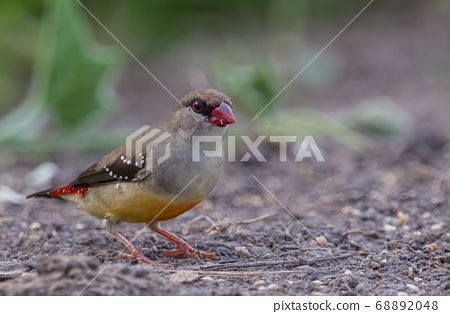 Red avadavat .in a coat that is not fully red looking for food on the ground. 68892048
