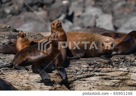 Sea lions sunbathing 68901286