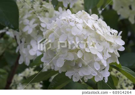樹繡球花 68914264