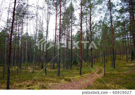 Young coniferous forest on an autumn cloudy day. 68919027