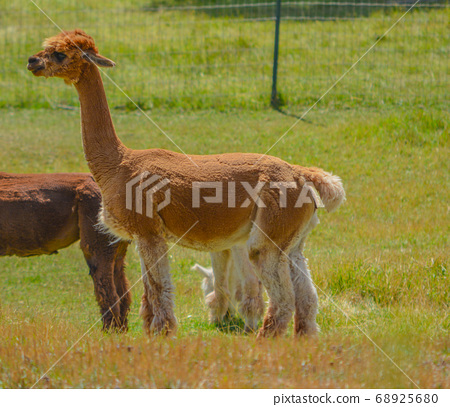 Llama's are from South America.  From the camel family and are very social animals with very soft wool. They are on a farm in Colorado. 68925680