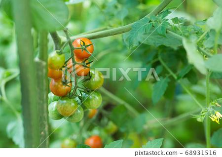 在家庭菜園的微型蕃茄 68931516