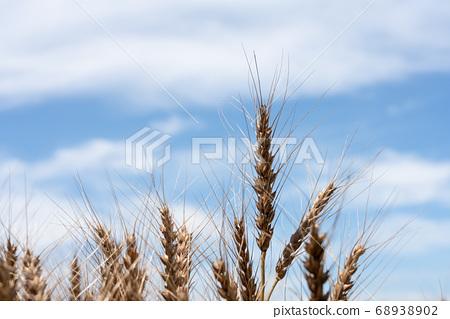 收穫時的麥田小麥的耳朵(六月)小麥 68938902
