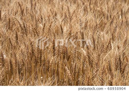 수확시기의 보리밭 (6 월) 밀 68938904
