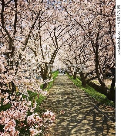 영원한 벚꽃길 68947099
