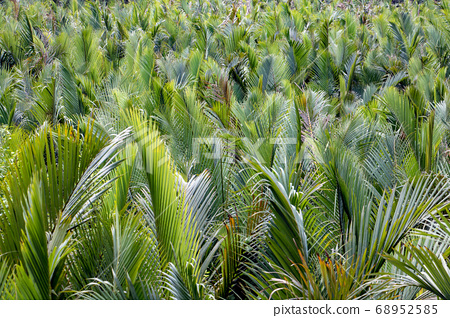 A green leaves of palm trees sway in the wind. 68952585