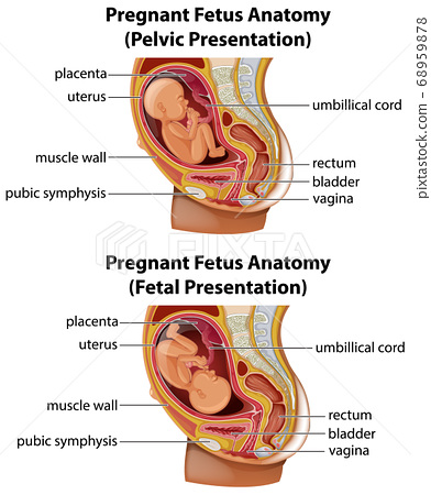 Pregnant fetus anatomy diagram 68959878