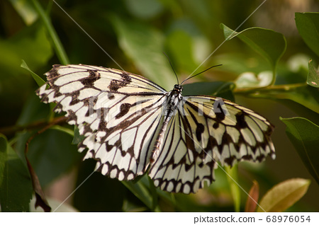 Rice Paper Butterfly in Okinawa, Japan 68976054