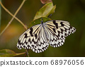 Rice Paper Butterfly in Okinawa, Japan 68976056