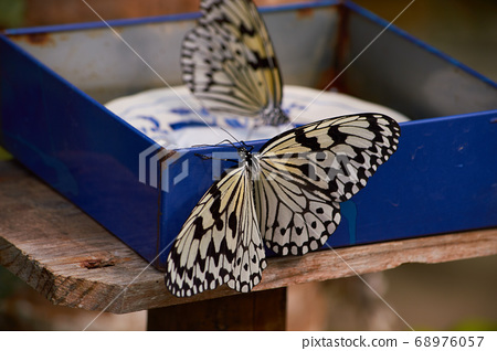 Rice Paper Butterfly in Okinawa, Japan 68976057