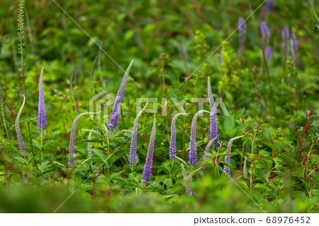 이부키 산에 피는 아름다운 쿠가이소우 68976452