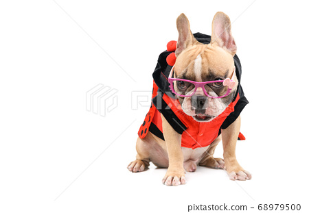 cute french bulldog wear  fancy glasses and sit 68979500