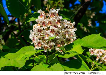 Beautiful white flowers of a catalpa tree 68980826