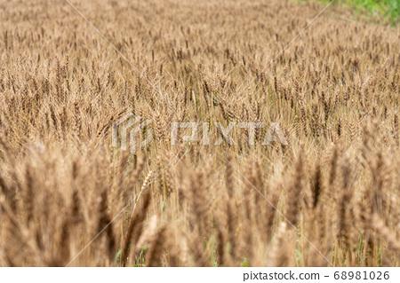 收穫時(6月)的麥田 68981026