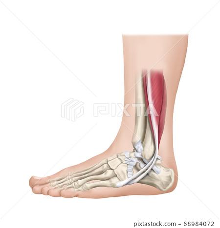 踝關節外側韌帶 68984072