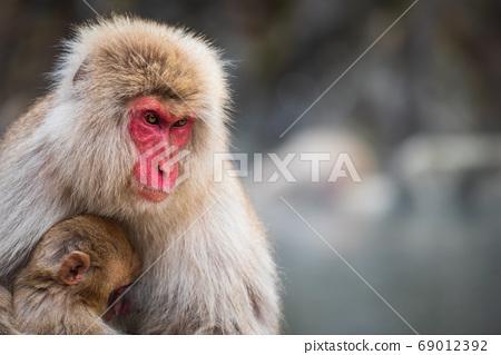 Snow monkey mom and baby at Jigokudani Park 69012392