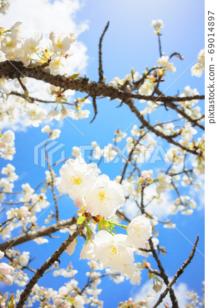 White cherry blossoms in full bloom and blue sky 69014897