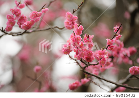 Pink plum blossoms in full bloom 69015432