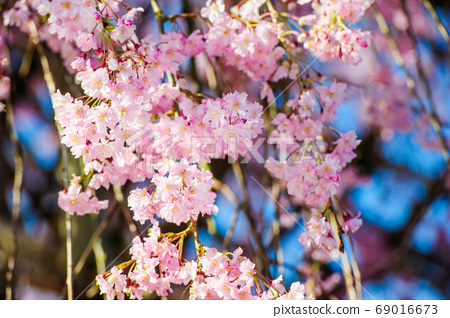 Pink cherry blossoms in full bloom 69016673