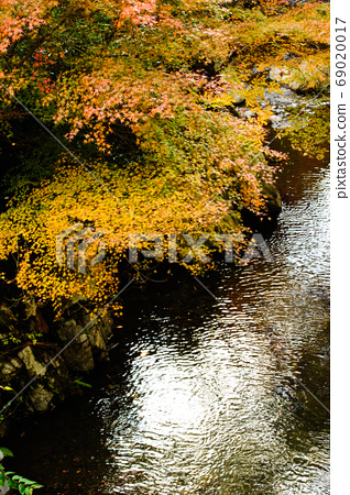 Yellow maple leaves and streams 69020017