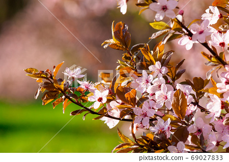 tiny apple blossom. beautiful nature background in springtime. s 69027833