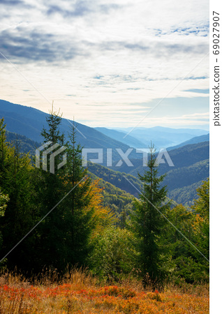 spruce forest on the hillside meadow. colorful grass in autumn. 69027907