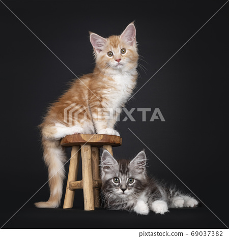 Duo Miane Coon cat kittens on black background 69037382